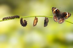 Life cycle of female blue pansy butterfly Junonia orithya Linn. Aeus from chrysalis and chrysalis on twig stock image