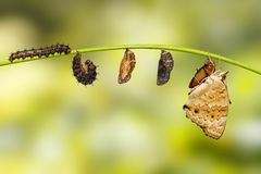 Life cycle of female blue pansy butterfly Junonia orithya Linn. Aeus from chrysalis and chrysalis on twig stock photos