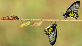Life cycle of female common birdwing butterfly Royalty Free Stock Photos