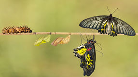 Life cycle of female common birdwing butterfly. Life cycle of female common birdwing ( goldenwing) butterfly from caterpillar with clipping path stock photos