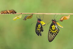 Life cycle of female common birdwing butterfly. Life cycle of female common birdwing ( goldenwing) butterfly with clipping path royalty free stock photo
