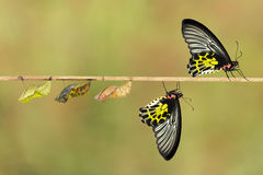 Life cycle of female common birdwing butterfly Stock Image