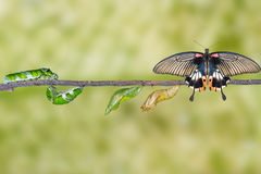 Life cycle of female great mormon butterfly from caterpillar. Hanging on twig stock photography