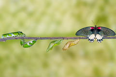 Life cycle of female great mormon butterfly from caterpillar. Hanging on twig stock images