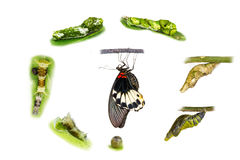 Life cycle of female great mormon butterfly. From egg, larva and pupa stock photos