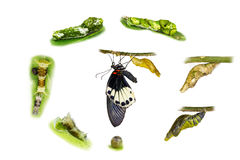 Life cycle of female great mormon butterfly. From egg, larva and pupa royalty free stock photo