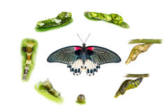 Life cycle of female great mormon butterfly. From egg, larva and pupa royalty free stock photos