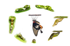 Life cycle of female great mormon butterfly. From egg, larva and pupa stock image