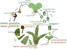 Life Cycle of Fern. Plant life cycle with alternation of diploid sporophytic and haploid gametophytic phases Stock Photo