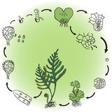 The life cycle of a fern. Vector illustration Royalty Free Stock Photo