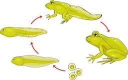 Life cycle of frog. In environment royalty free illustration