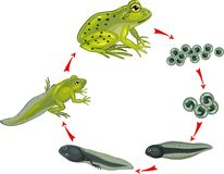 Life cycle of frog. Life cycle of green frog
