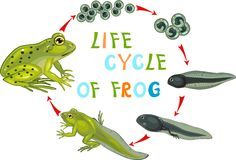 Life cycle of frog. Life cycle of green frog Royalty Free Stock Photography