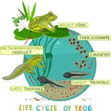 Life cycle of frog Royalty Free Stock Photos