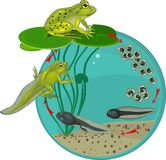 Life cycle of frog. Life cycle of green frog Stock Photography