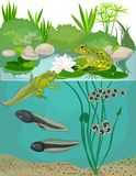 Life cycle of frog. Life cycle of green frog Stock Photo