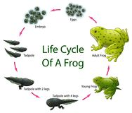 Life cycle of frog. Illustration of Life cycle of frog Royalty Free Stock Images