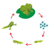The Life cycle of a Frog Stock Images