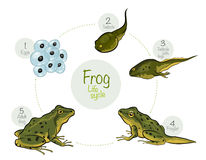 Life cycle of a frog. Vector illustration: Life cycle of a frog Stock Photo