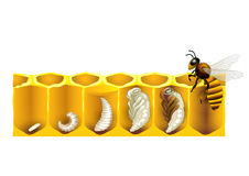 The life cycle of a honeybee.  Royalty Free Stock Image