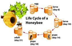 Life cycle of a honeybee royalty free illustration