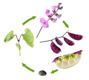 Life cycle of hyacinth bean isolated on white background. Growth stages of plant from seed to flowers and fruits royalty free stock photos