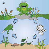 Life cycle. Illustration of life cycle of frog vector illustration