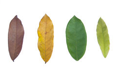 Life cycle of leaves. On white background Royalty Free Stock Photos