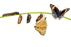 Life cycle of male blue pansy butterfly Junonia orithya Linnae. Us from chrysalis and chrysalis on twig stock image
