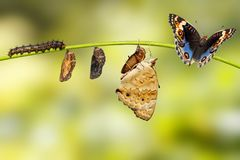 Life cycle of male blue pansy butterfly Junonia orithya Linnae. Us from chrysalis and chrysalis on twig royalty free stock images
