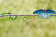 Life cycle of male great mormon butterfly from caterpillar Royalty Free Stock Photo