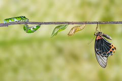 Life cycle of male great mormon butterfly from caterpillar. Life cycle and transformation of male great mormon butterfly from caterpillar with clipping path stock photos