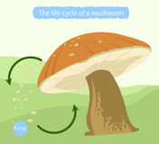 Life cycle of a mushroom Stock Photos