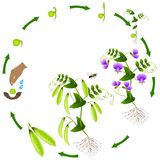 The life cycle of a pea plant is isolated on a white background. The life cycle of a pea plant is isolated on a white background, beautiful illustration Stock Photo