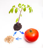 The life cycle of the plant. On tomato example Stock Photo