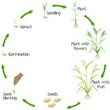 Life cycle of a rice plant on a white background. stock illustration