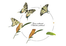 Life cycle of scarce swallowtail. It is illustration of life cycle of scarce swallowtail stock image