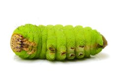 Life Cycle of Silk Worm Royalty Free Stock Images