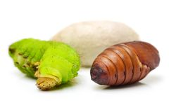 Life Cycle of Silk Worm Royalty Free Stock Photo