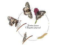 Life cycle of southern festoon butterfly. It is illustration of life cycle of southern festoon butterfly Stock Image