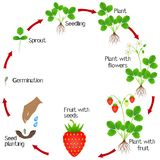 Life cycle of a strawberry plant on a white background. stock illustration
