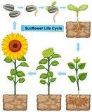 Life cycle of sunflower plant. Illustration Royalty Free Stock Photo