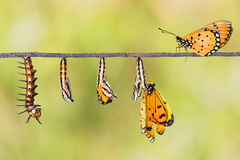 Life cycle of Tawny Coster transform from caterpillar to butterf Royalty Free Stock Photo