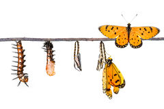 Life cycle of Tawny Coster transform from caterpillar to butterfly royalty free stock photo