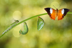Life cycle of Tawny Rajah butterfly. With caterpillar and chrysalis stock photos