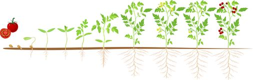 Life cycle of tomato plant. Stages of growth from seed and sprout to adult plant with fruits. Life cycle of tomato plant with stages of growth from seed and stock illustration