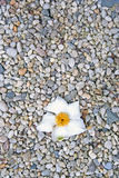 Life and Death. A delicate white petaled flower had recently fallen on the gravel path at the Planting Fields Arboretum on Long Island. It was so poetic, I had Royalty Free Stock Photo