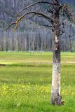 Life and death. A bare, charred and dead tree on a beautiful meadow in yellowstone national park stock photography