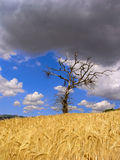Life and death. A death oak tree in a ripen wheat field Royalty Free Stock Image