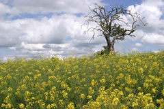 Life & Death. A field of Rape Seed (Canola) and a Dead Tree Stock Images